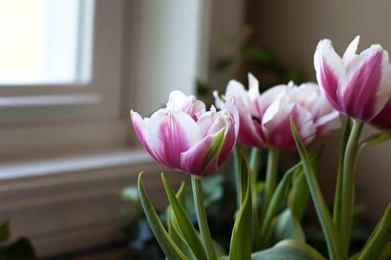 tulips_adam_r