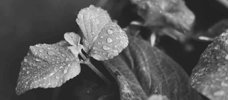 plant_rain_bw