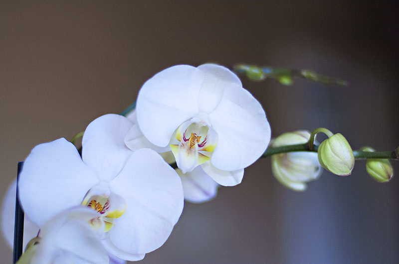 r_05_orchid