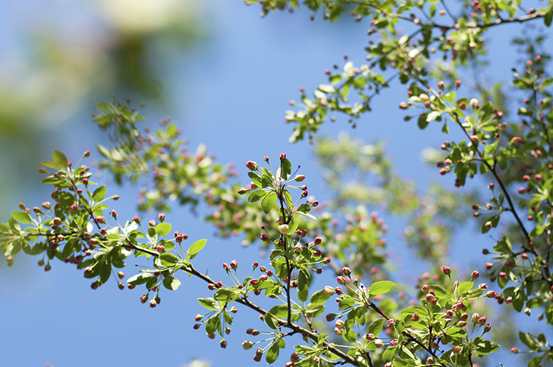 2017_buds_tree