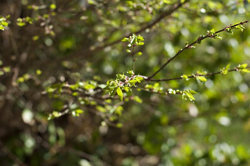 burningbush_green_back