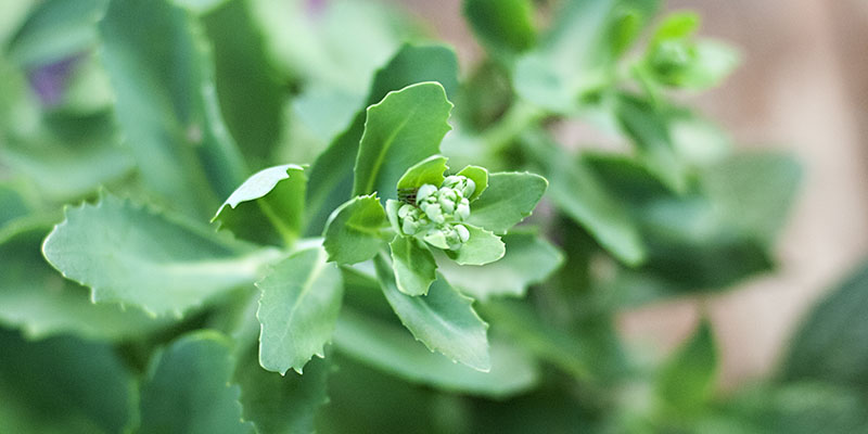 r_sedum_green_closeup