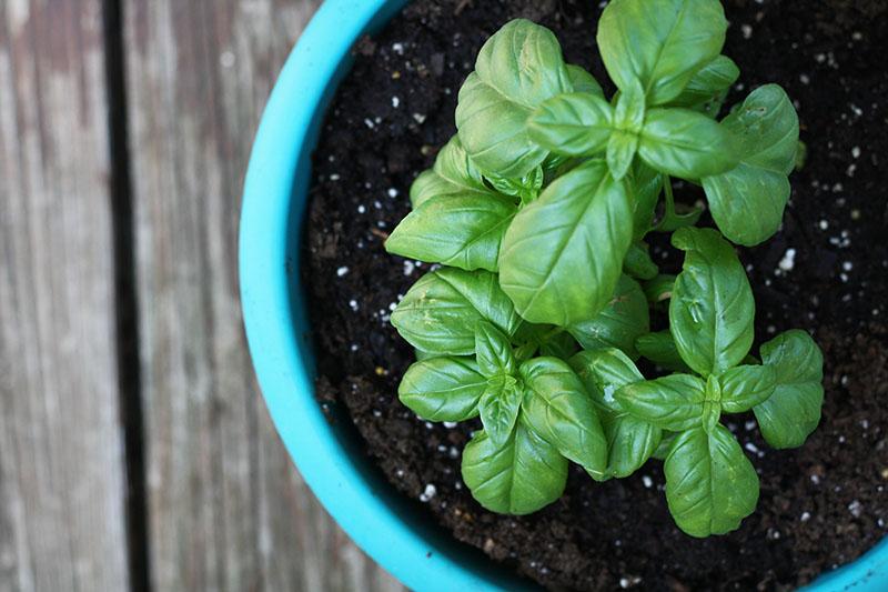basil_green_herbs